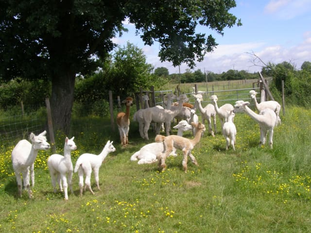 Relax on holiday with Alpacas - Le Breuil-sous-Argenton - Huis