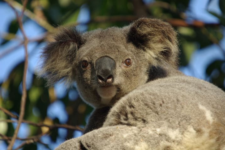 Wild Koalas, Your Own Flat & Pool! - Wellington Point